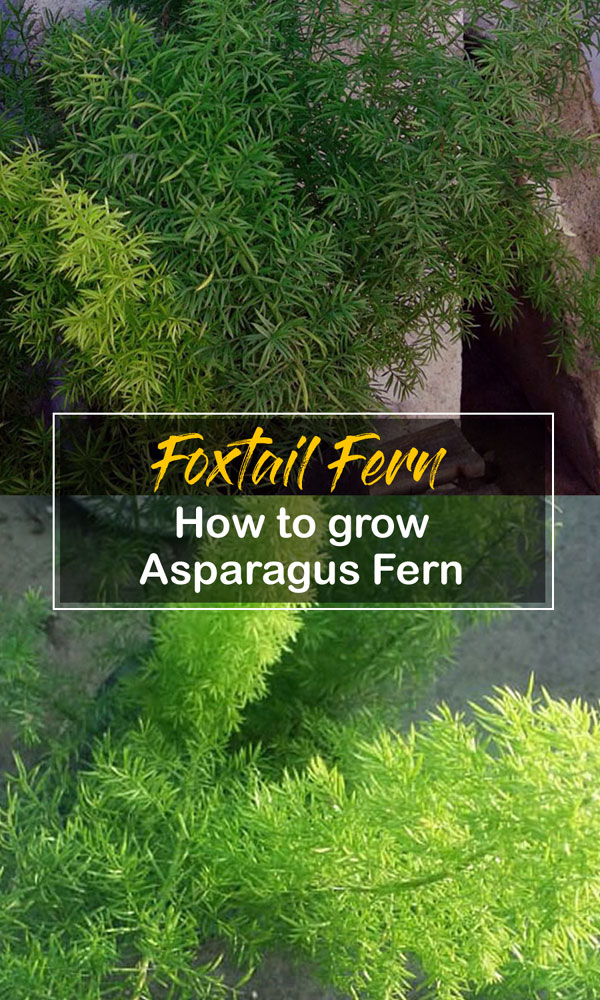 Asparagus Fern | care of foxtail fern