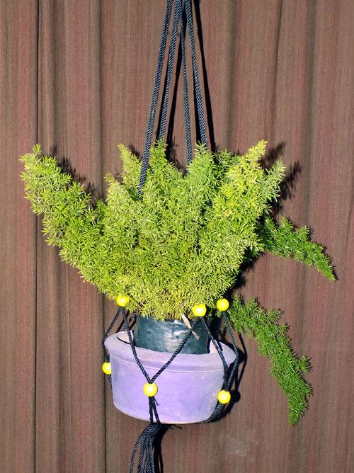 Foxtail Fern (Asparagus Fern)