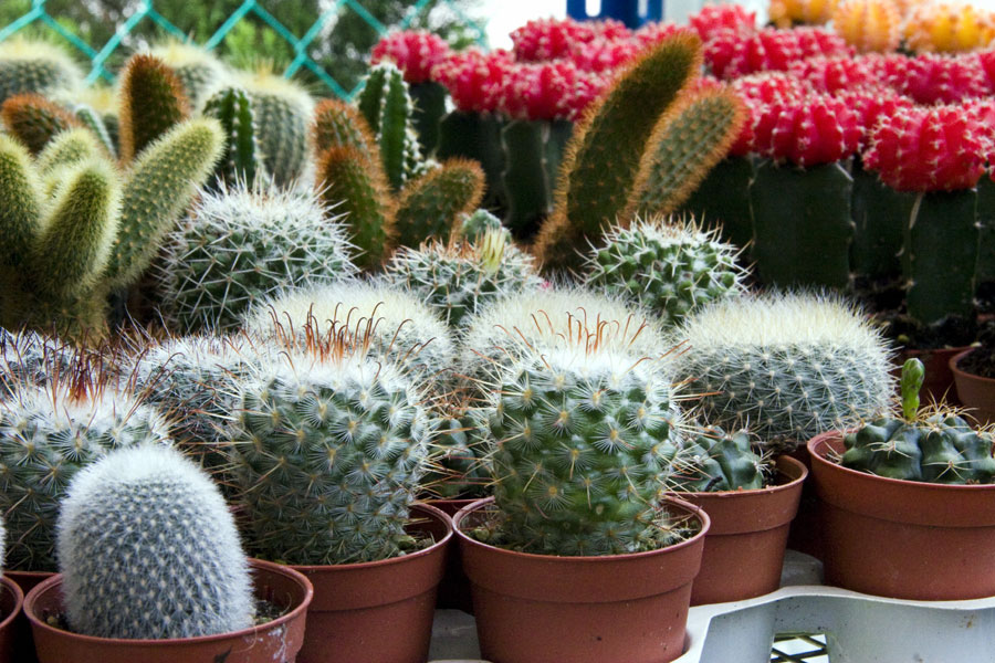 10 Types of Indoor Cactus plants | Best Cactus for home gardening