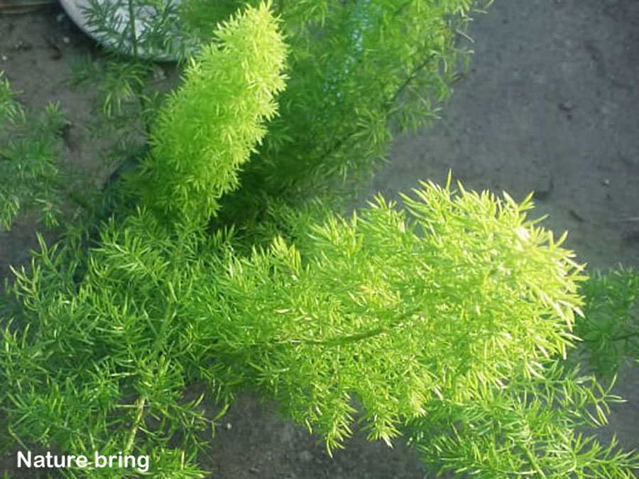 Foxtail Fern | How to grow Asparagus Fern | care of foxtail fern