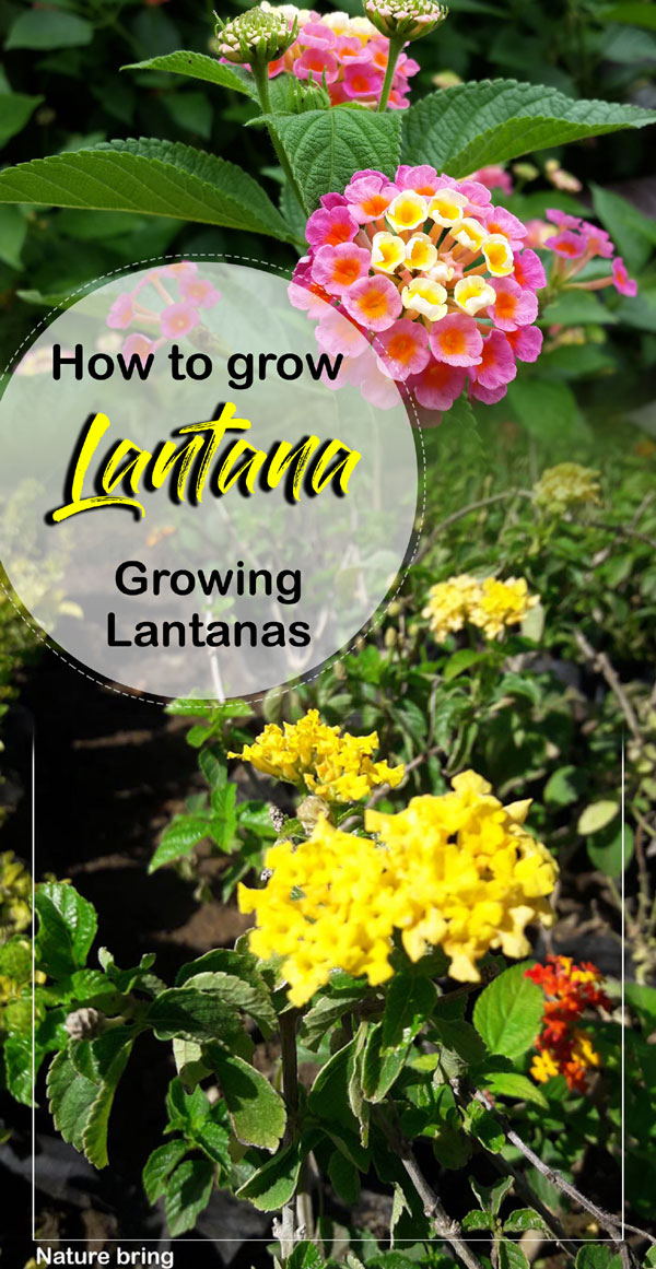 Lantana Plant | How to grow lantana | lantana camara