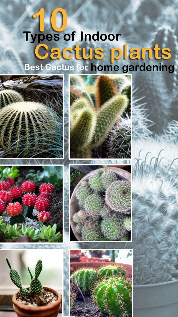 Types of Indoor Cactus plants