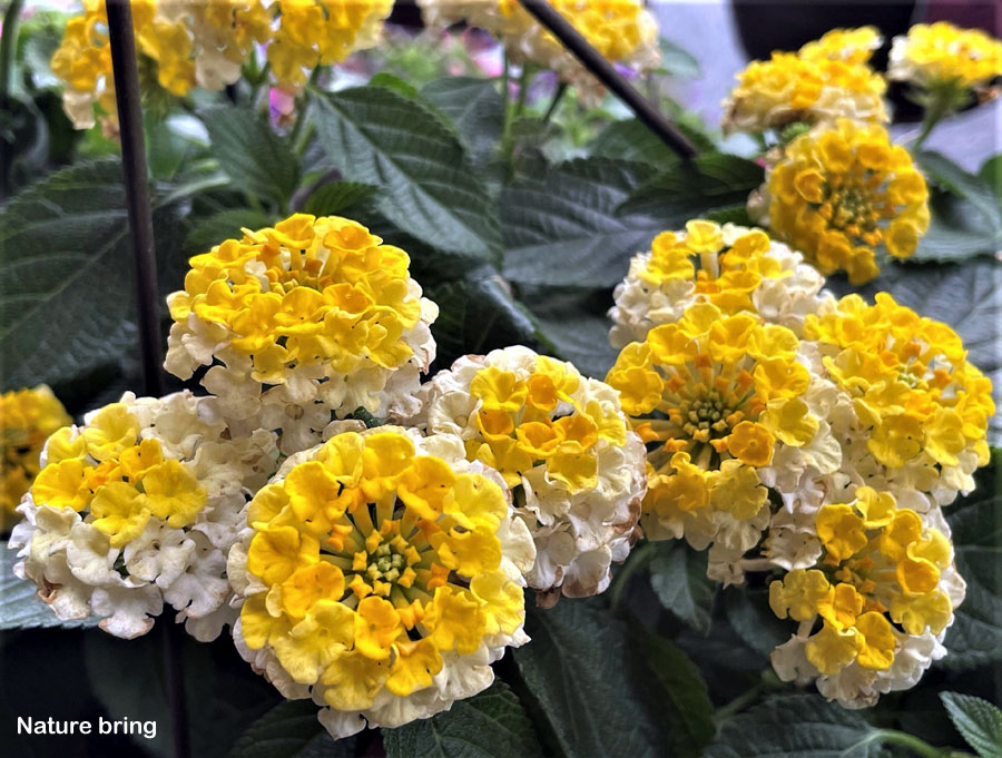 Lantana Plant | How to grow lantana | lantana camara care