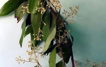 Bay Leaf plant | bay laurel