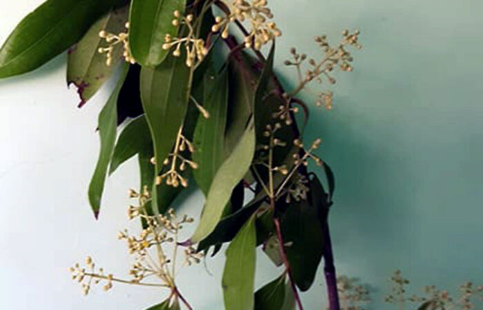 Bay Leaf plant | bay laurel