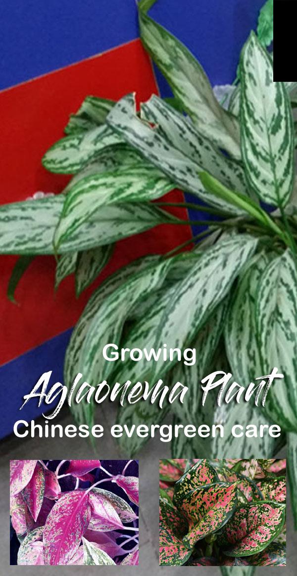 Aglaonema Plant | Chinese evergreen