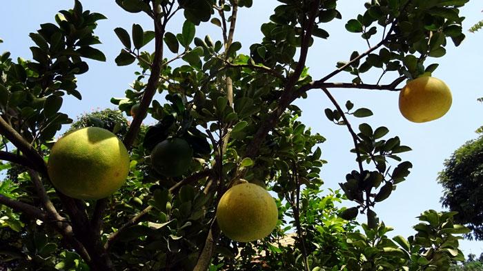 citrus paradisi