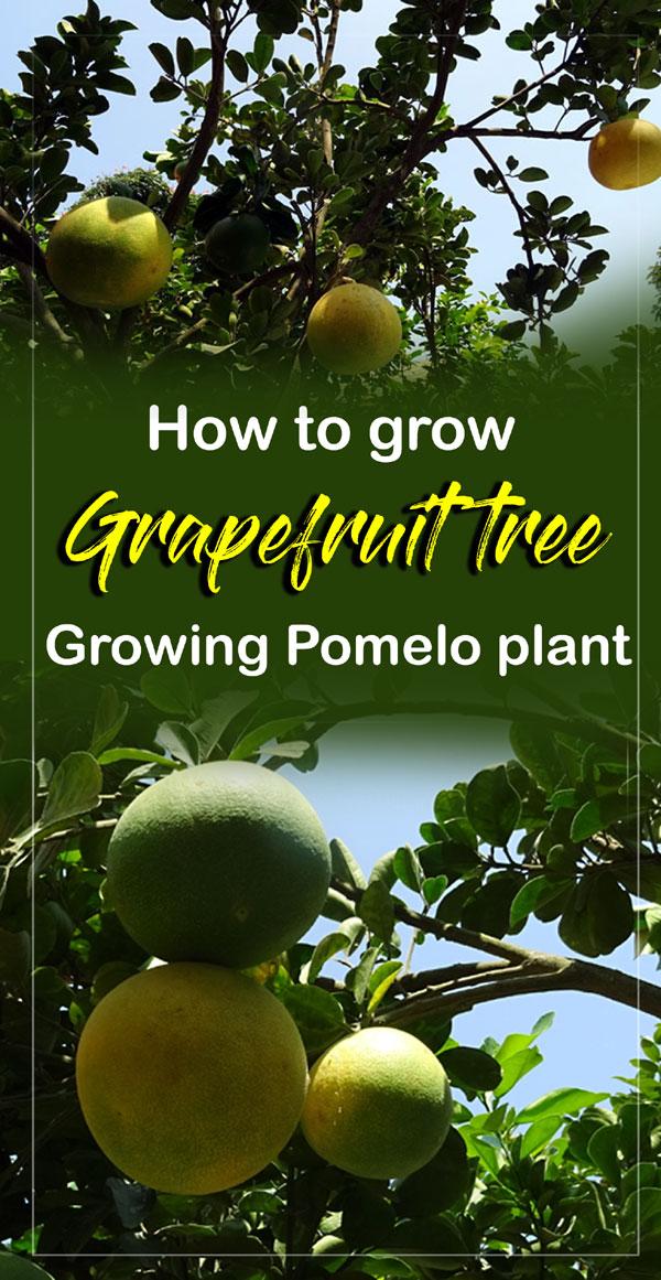 Grapefruit tree | Pomelo