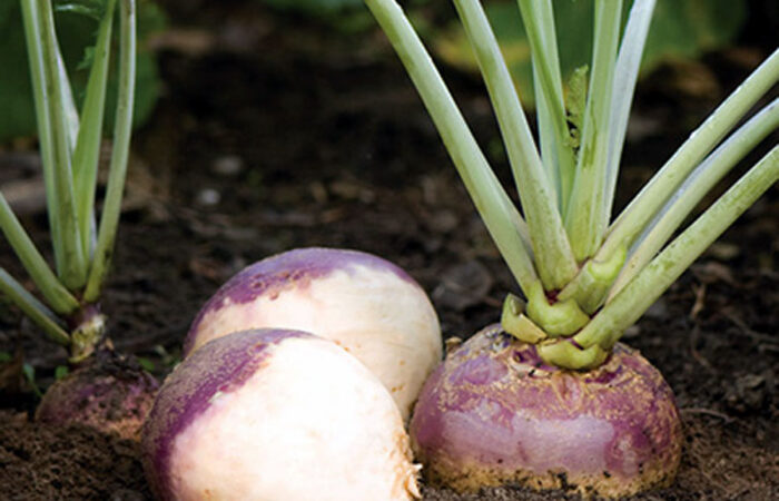 swedish turnip