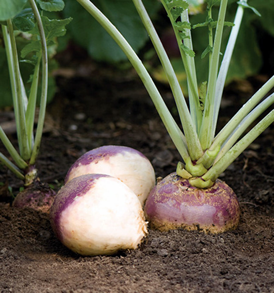 Rutabaga | Growing, caring and planting swede vegetable