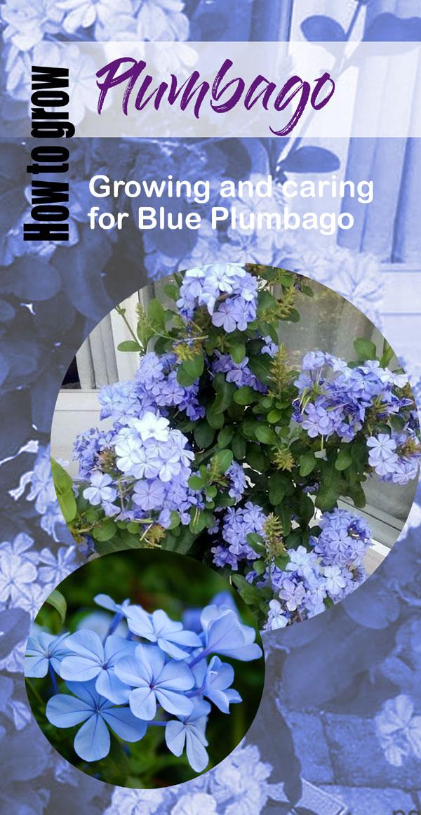Plumbago auriculata | skyflower