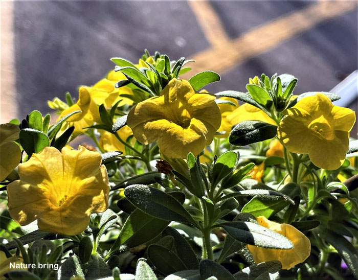 million bells flowers