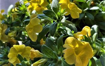 Calibrachoa Plant (million bells)