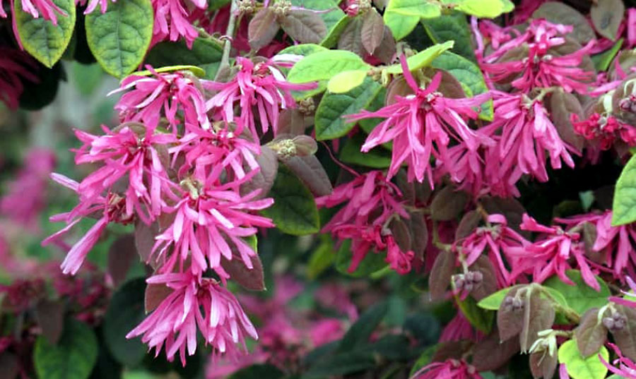 Loropetalum | How to grow Chinese Fringe Flower in your garden