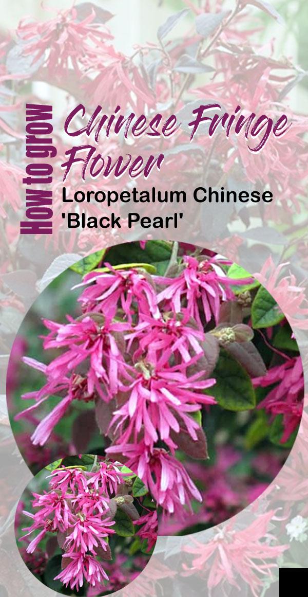 Chinese Fringe Flower | crimson fire loropetalum