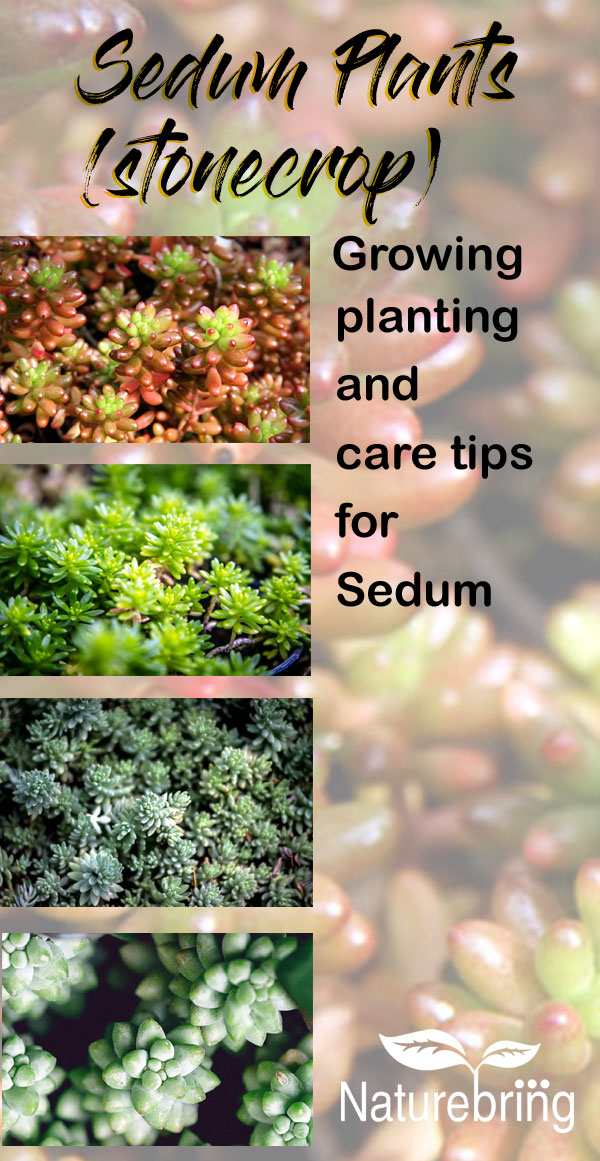 Sedum Plants (stonecrop)