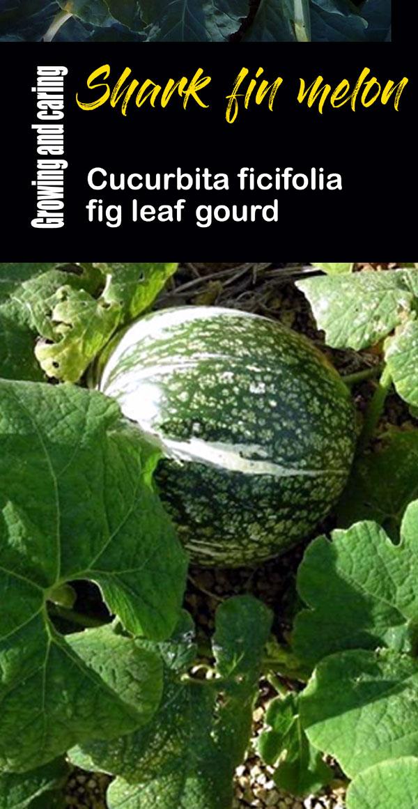 fig leaf gourd | malabar gourd