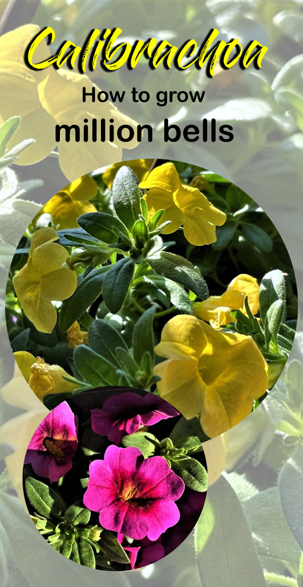 How to grow Calibrachoa Plant