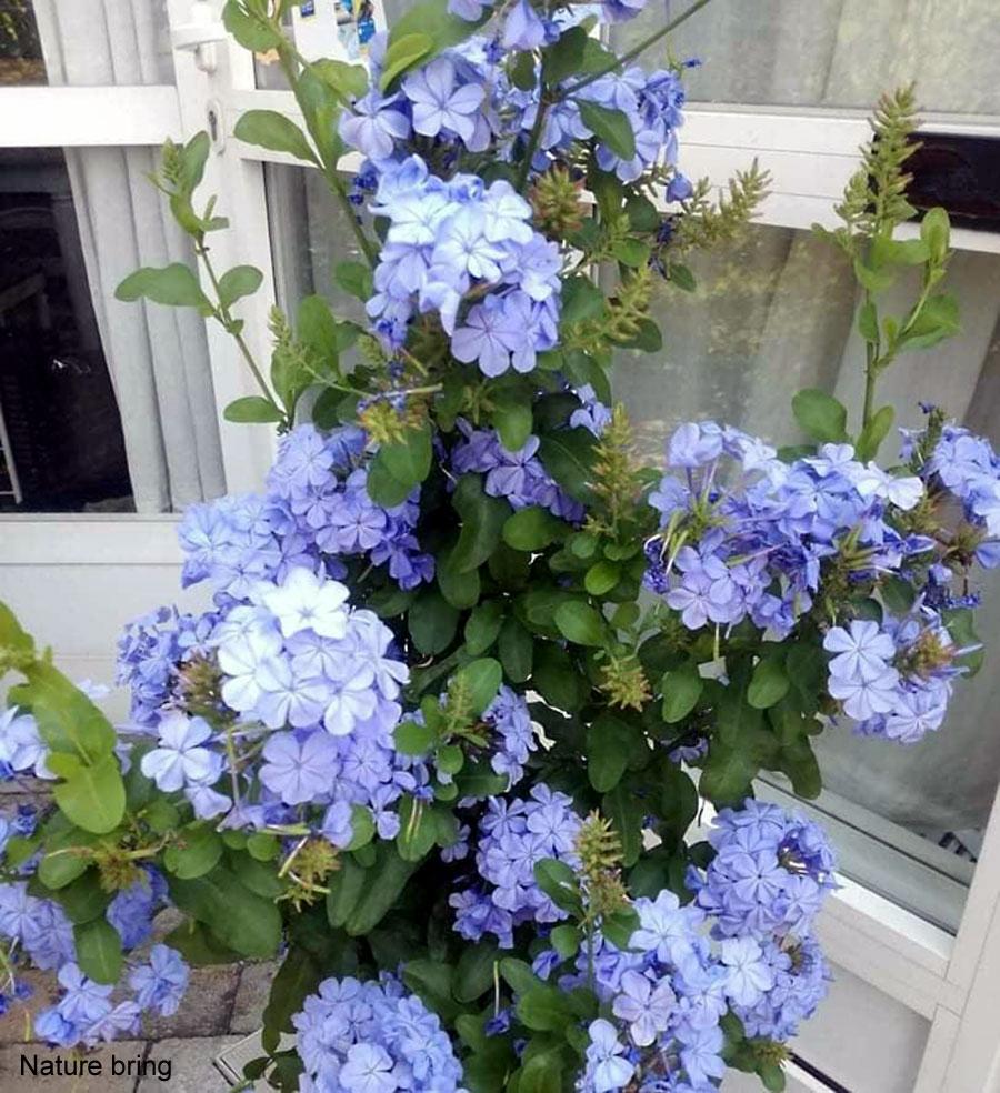 Plumbago auriculata | Grow and care of Blue Plumbago | skyflower