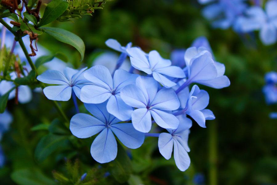 Plumbago plumbago | skyflower