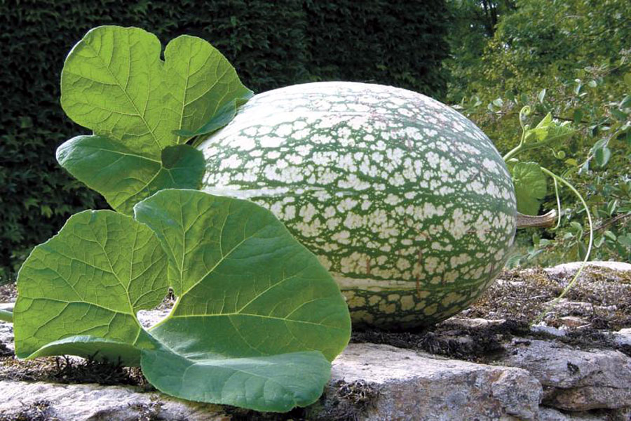 Growing and caring Shark fin melon | Cucurbita ficifolia | fig leaf gourd