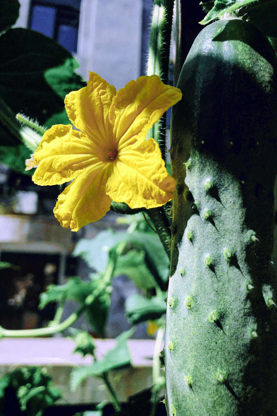 How to grow organic cucumbers | Growing cucumbers in your kitchen garden