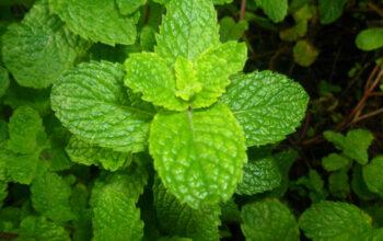 Lemon Balm Plant