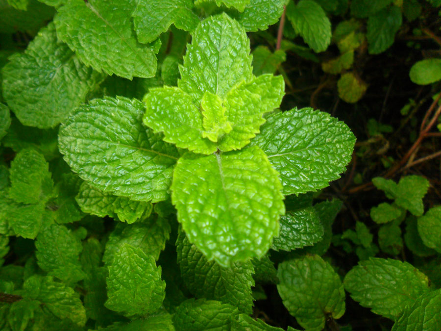 How to grow Lemon Balm Plant in container | Growing Bee Balm
