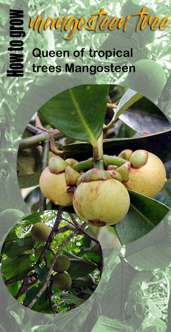 Mangosteen trees | garcinia mangostana