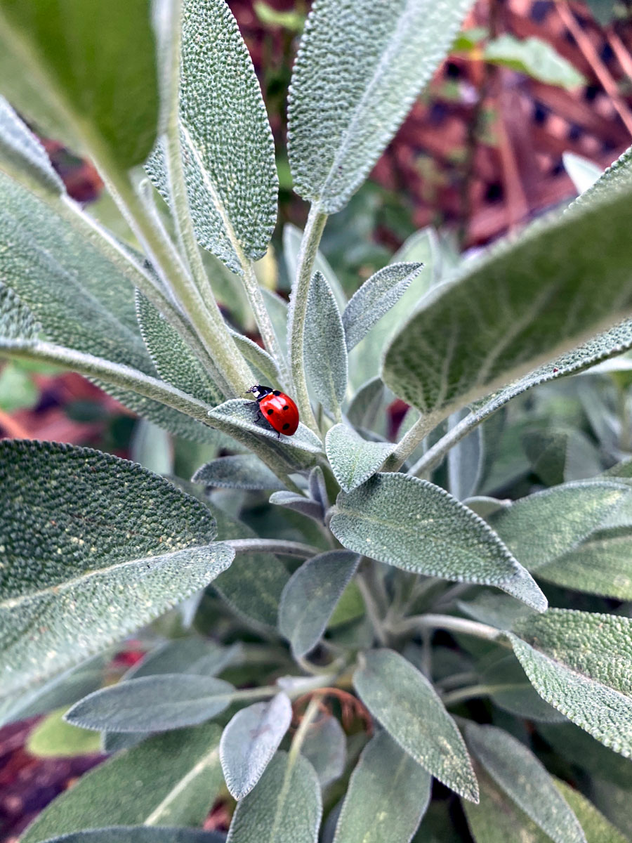 Growing Sage plants | How to grow organic Sage in containers