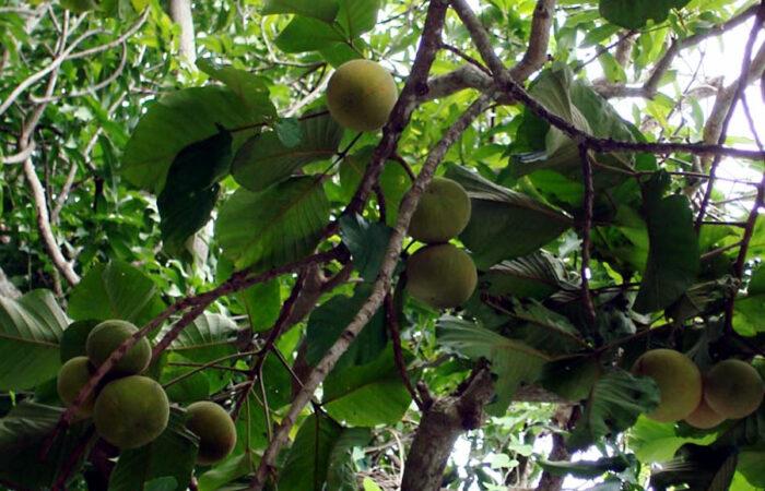 Mangosteen trees