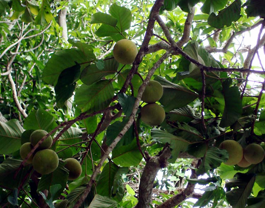 How to grow Mangosteen trees | Queen of tropical trees | garcinia mangostana