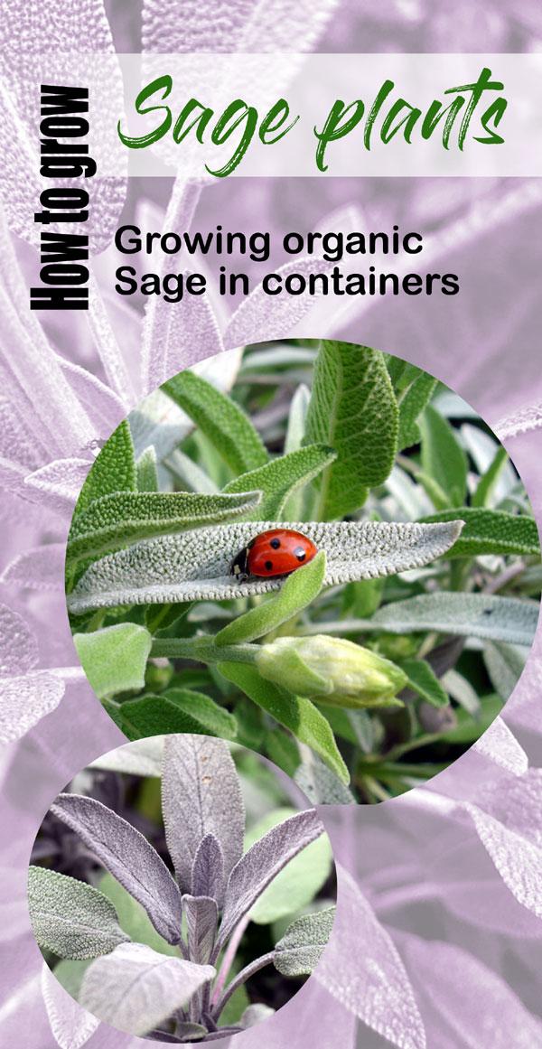 Growing Sage plants