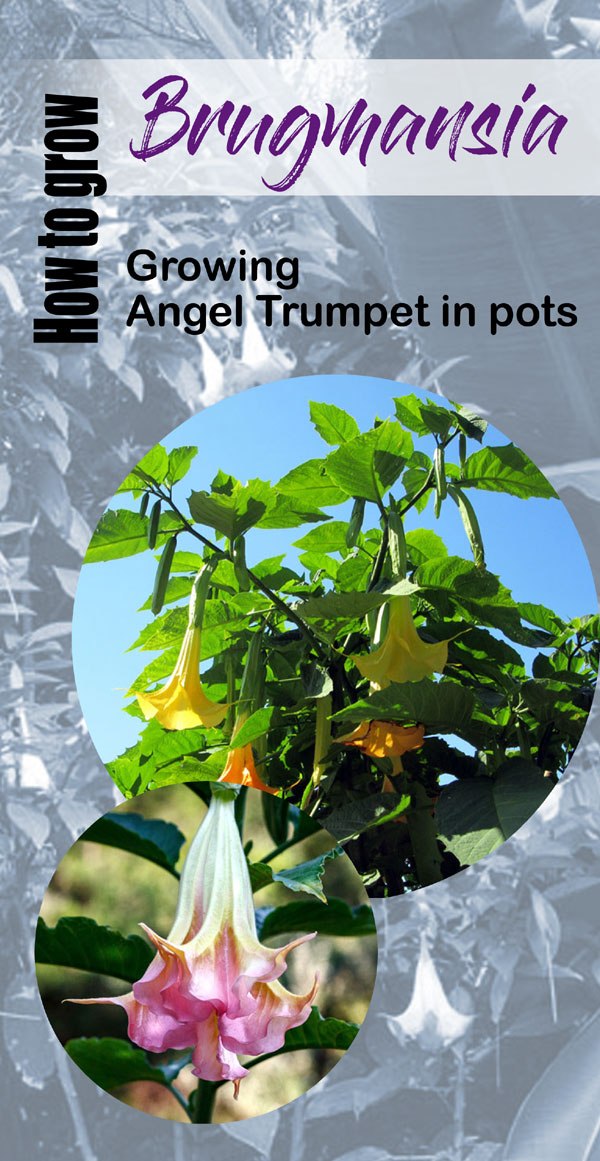 Brugmansia shrub