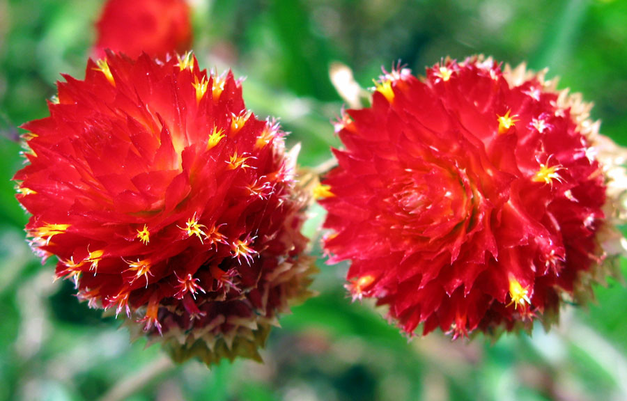 How to grow Gomphrena Plant | Growing Globe amaranth
