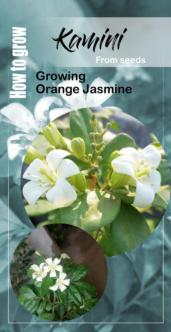Growing Orange Jasmine