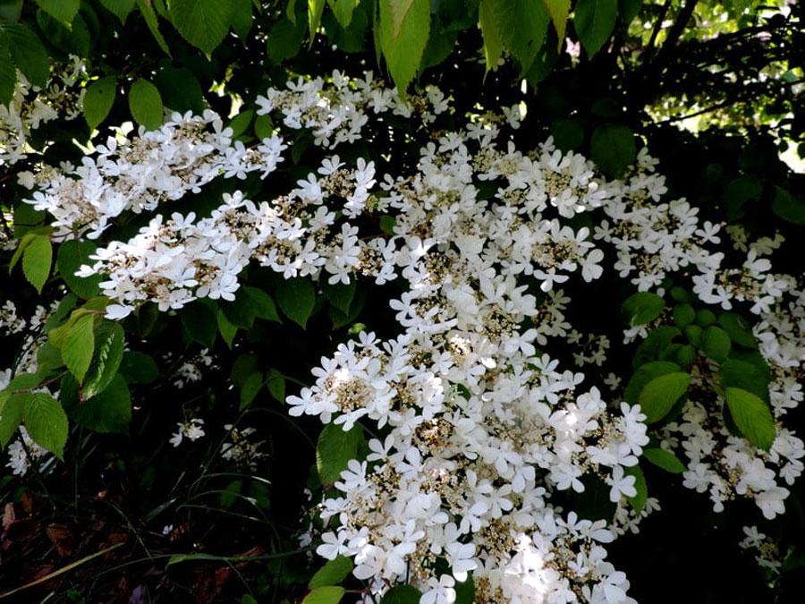 Viburnum Shrubs (Viburnum opulus)