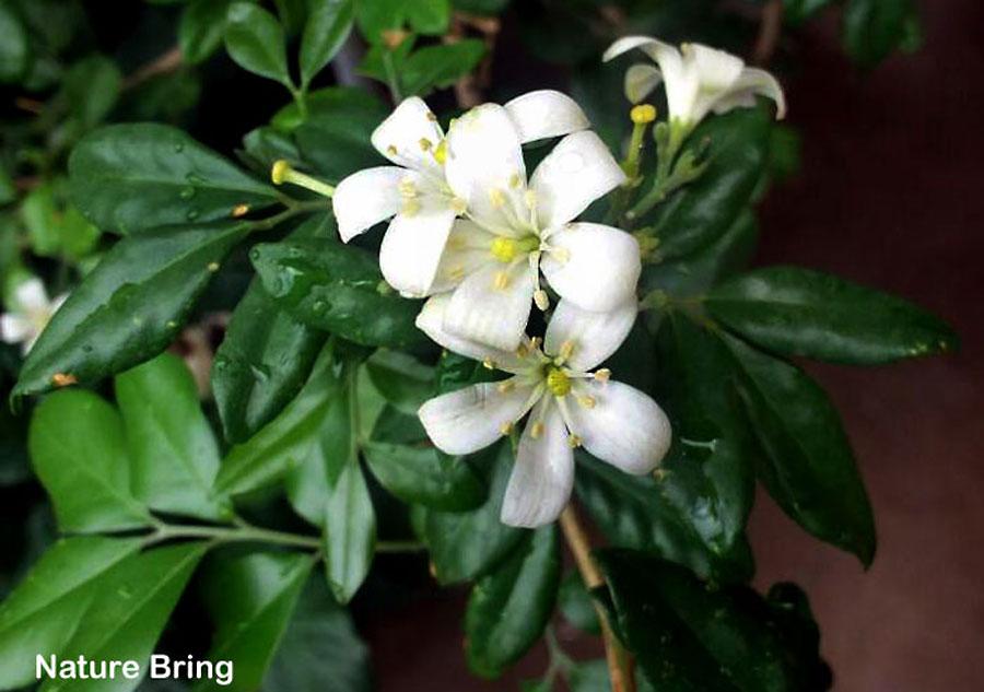 How to grow Kamini from seeds | Growing Orange Jasmine