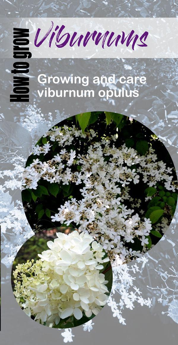 Growing Viburnum Shrubs   arrowwood viburnum