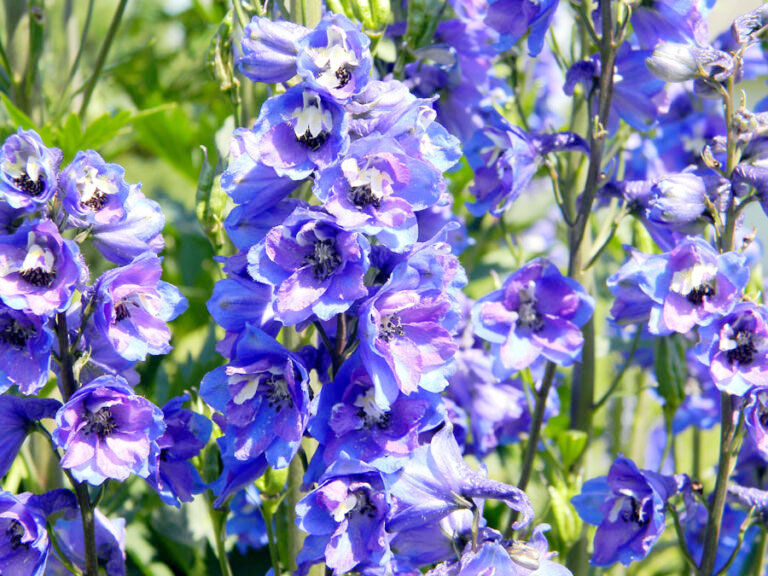 How to Grow and Care for Delphinium plants | Growing perennial larkspur