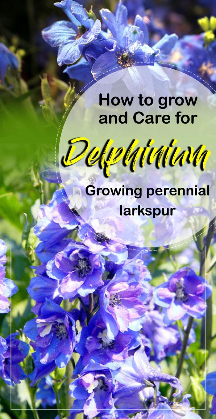 Delphinium plants