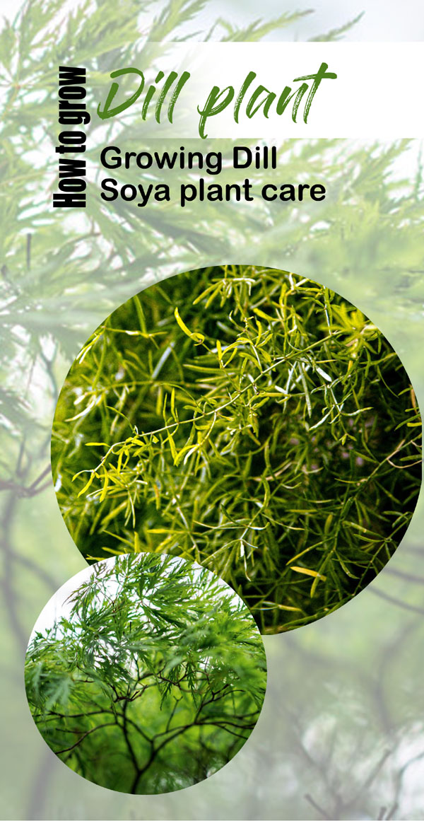 Growing Dill | Soya plant care