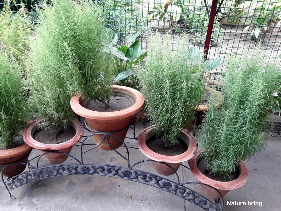 Growing Kochia Scoparia (burning bush)