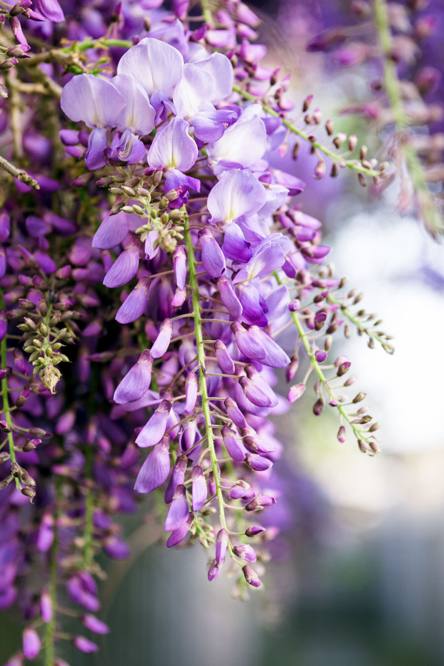 When and How to Grow Wisteria Plants | Growing Wisteria vine