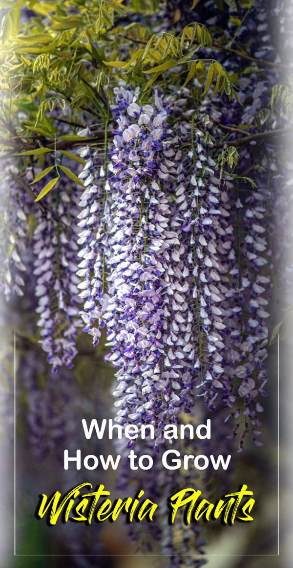 Growing Wisteria vine