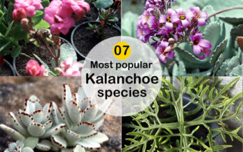 Type of Kalanchoes