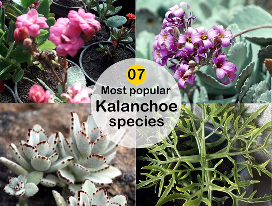07Most popular Kalanchoe species | Type of Kalanchoes ornamental houseplants