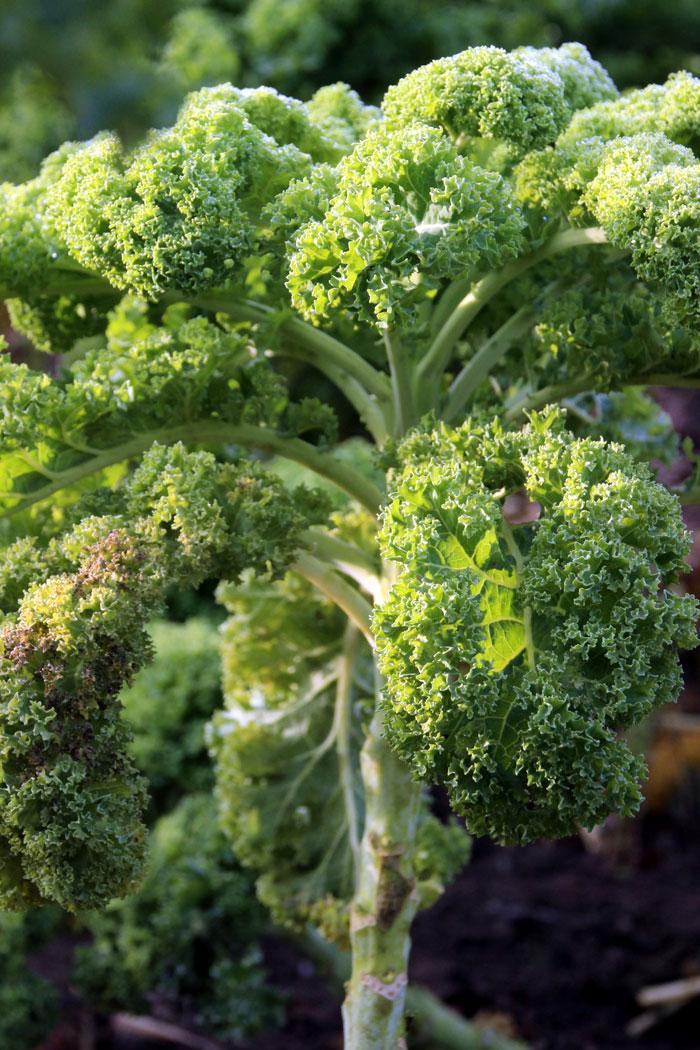 kale plant   Growing Kale