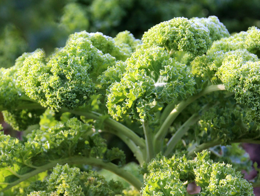 How to Grow Kale in winter | kale plant | Growing Kale in India