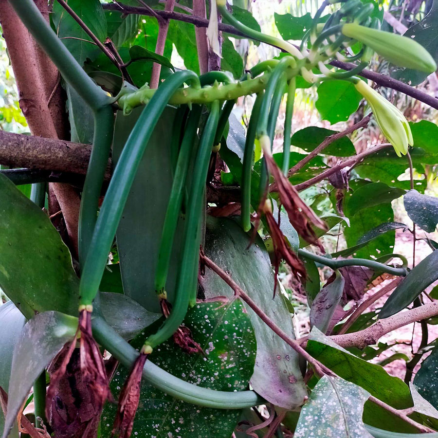 Growing Vanilla Beans plant in your backyard | Vanilla orchid care
